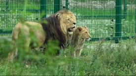 Międzynarodowy Dzień Lwa w ZOO