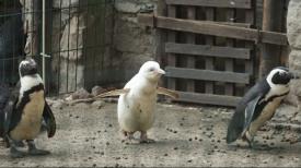 Pingwin - albinos urodził się w Gdańsku