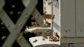 Pszczoły w Hevelianum