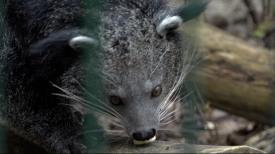 Próba łączenia binturongów w gdańskim zoo